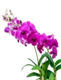 Aislante de la orquídea en blanco Fotos de archivo libres de regalías