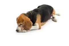 Aislante de la sentada del perro del beagle en el fondo blanco Imagen de archivo libre de regalías