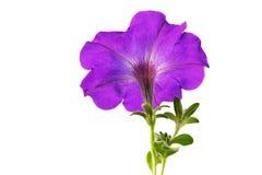 Aislante de las flores de la petunia en el fondo blanco Imágenes de archivo libres de regalías