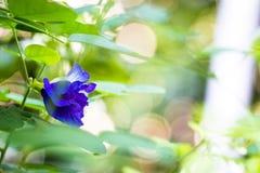 Aislante de las flores del guisante en blackground en sumer sping fotografía de archivo libre de regalías