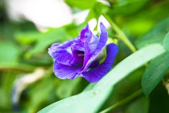 Aislante de las flores del guisante en blackground en sumer sping imagen de archivo