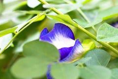 Aislante de las flores del guisante en blackground en sumer sping foto de archivo libre de regalías