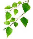 Aislante de las hojas de los abedules foto de archivo