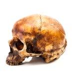 Aislante del cráneo Fotos de archivo