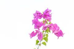 Aislante floreciente rosado de las buganvillas en el fondo blanco con Cl Imagenes de archivo