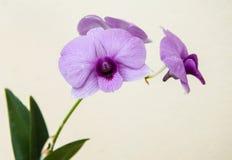 Aislante hermoso de la orquídea en el fondo blanco Foto de archivo libre de regalías