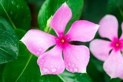 Aislante rosado de Wrightia en sumer sping después de llover fotografía de archivo