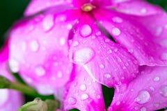 Aislante rosado de Wrightia en sumer sping después de llover imagen de archivo