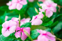 Aislante rosado de Wrightia en sumer sping después de llover imagen de archivo libre de regalías