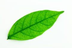 Aislante verde de la hoja en el fondo blanco Imagen de archivo