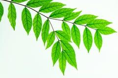 Aislante verde de la hoja en el fondo blanco Imágenes de archivo libres de regalías