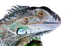 Aislante verde de la iguana en blanco Foto de archivo