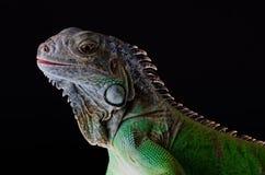 Aislante verde de la iguana en negro Fotos de archivo