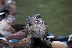 aix美国鸭子sponsa木头 库存图片