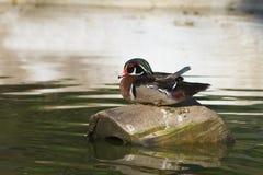 aix美国鸭子sponsa木头 库存照片