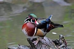 aix amerykański kaczki sponsa drewno Zdjęcie Royalty Free