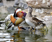 Aix galericulata. Ducks in the lake looking for food Royalty Free Stock Photos