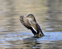 Aix galericulata. Ducks in the lake looking for food Stock Images