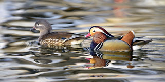 Aix galericulata. Ducks in the lake looking for food Stock Photography