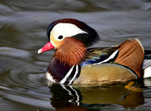 Aix galericulata. Ducks in the lake looking for food Stock Photo