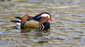 Aix galericulata. Ducks in the lake looking for food Stock Photos