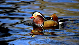 Aix galericulata. Ducks in the lake looking for food Royalty Free Stock Images