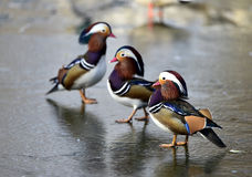 Aix galericulata. Ducks in the lake looking for food Royalty Free Stock Photo