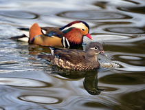 Aix galericulata. Ducks in the lake looking for food Royalty Free Stock Image