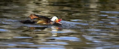 Aix galericulata. Ducks in the lake looking for food Royalty Free Stock Photography