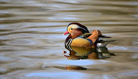 Aix galericulata. Ducks in the lake looking for food Stock Image