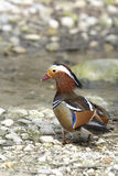 Aix galericulata, mandarin duck Stock Photos