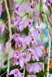 Aix galericulata orchid flowers Stock Photo