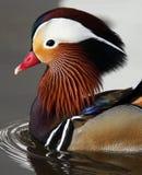 aix kaczki galericulata mandarynka Zdjęcia Royalty Free