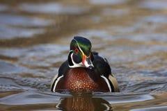 aix kaczki męski sponsa drewno Obraz Royalty Free