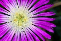 Aizoaceae, Lampranthus Spectabilis Imagem de Stock