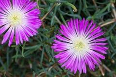 Aizoaceae, Lampranthus Spectabilis Foto de Stock Royalty Free