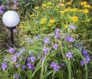 Aizoon do Tradescantia e do sedum no canteiro de flores do verão Fotos de Stock