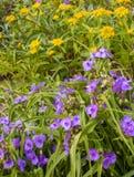 Aizoon do Tradescantia e do sedum no canteiro de flores do verão Fotografia de Stock