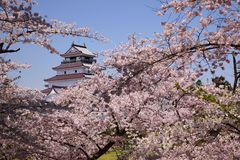 Aizuwakamatsu Castle and cherry blossom Stock Image