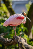 Ajaja do Platalea do Spoonbill róseo Imagem de Stock