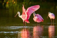 Ajaja do Platalea dos spoonbills róseos Imagens de Stock