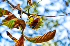 Ajar chestnut growing on the tree Royalty Free Stock Photos