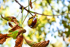 Ajar chestnut growing on the tree Stock Image
