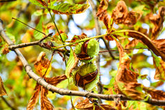 Ajar chestnuts growing on the tree Royalty Free Stock Photo