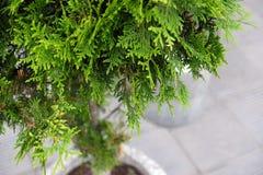 Ajardinando no shopping, arbustos, árvores em um suporte concreto Ajardinar do desenhista da paisagem Imagem de Stock