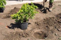 Ajardinando o trabalho - plantando arbustos no canteiro de obras Fotos de Stock Royalty Free