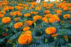Ajardinar da flor Imagem de Stock Royalty Free