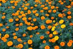 Ajardinar da flor Foto de Stock Royalty Free