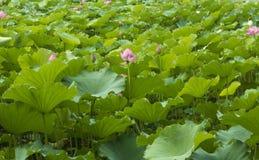 Ajardinar de Lotus Pond Fotografia de Stock