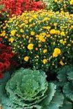 Ajardinar do outono dos Mums e dos repolhos Fotos de Stock Royalty Free